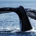 humpback-whales-011
