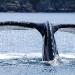 humpback-whales-015