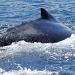 humpback-whales-021
