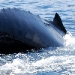 humpback-whales-022