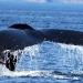 humpback-whales-028